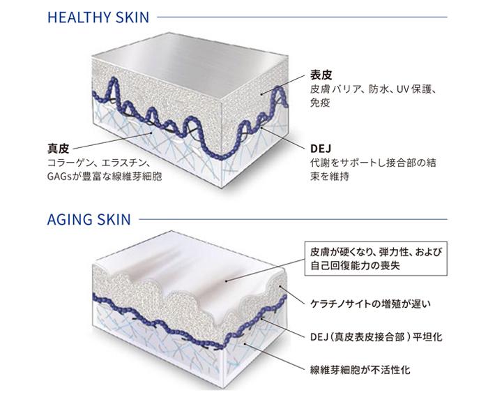 健康な肌と老化肌の違い